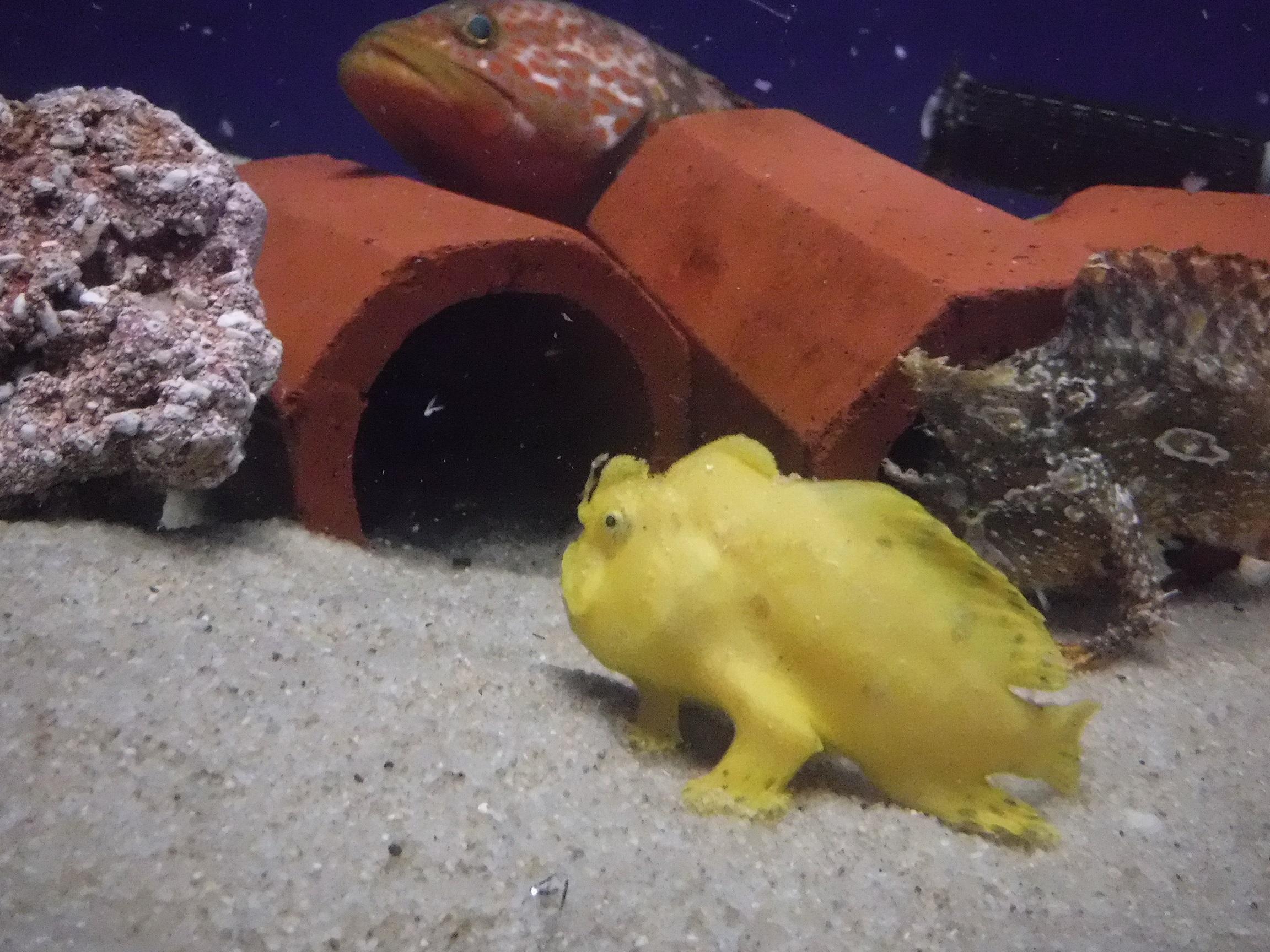 浜名湖にはこんな魚もいるよ(カエルアンコウ)